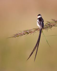 The male Pin-tailed Whydah performs superb courtship displays. He woos his partner with an aerial mating dance during which he flicks his tail up and down while singing continuously. Make bird-watching part of your safari >>  📷: Gerry Zambonini Flickr