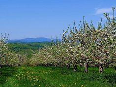 Formarea coroanei la pomii fructiferi este de cele mai multe ori o lucrare destul de grea pentru pomicultorii care nu au multă experiență, cu atât mai mult cu cât primele tăieri sunt esențiale Fruit Trees, Grape Vines, Vineyard, Mountains, Landscape, Nature, Travel, Gardening, Outdoor