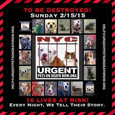 TO BE DESTROYED:16 beautiful dogs to be euthanized by NYC ACC- SUN 02/15/15. This is a VERY HIGH KILL shelter group. YOU may be the only hope for these pups! ****PLEASE SHARE EVERYWHERE!To rescue a Death Row Dog, Please read this: http://urgentpetsondeathrow.org/must-read/ To view the full album, please click here: https://www.facebook.com/media/set/?set=a.611290788883804.1073741851.152876678058553&type=3