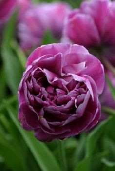 Double Late Tulips - The Peony Tulip