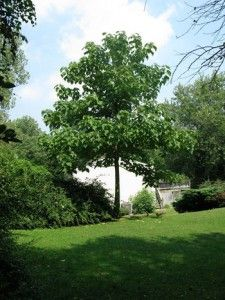 10 Of The Fastest Growing Shade Trees Page 2 11