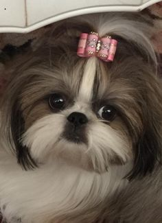 """Lacy"" owned by Denise Paul Amos is modeling an InBetween Size Embroidered Flower Dog Bow sprinkled with Swarovski crystals~Bow by Doggie Bow Ties!"