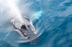 Humpback Whale in the Gerlache Strait, Antarctica