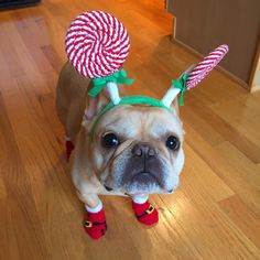 Hamlin, the French Bulldog, in his Santa's Workshop Lollipop Headgear.