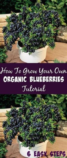 How To Grow Your Own Organic Blueberries Tutorial #blueberries #organic #growyourown #organicgardeningideas