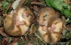 Dormouse Ecology and Survey