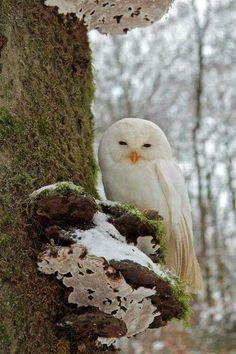 White Tawny owl (strix aluco) in the Harz Region Germany by Ralf Steinberg Beautiful Owl, Animals Beautiful, Aluco, Animals And Pets, Cute Animals, Funny Animals, Tawny Owl, Photo Animaliere, Owl Pictures