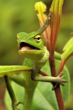 Sri Lankan Green Garden Lizard (Calotes calotes)