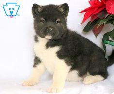 Iggy | Akita Puppy For Sale | Keystone Puppies Akita Puppies For Sale, Baby Puppies For Sale, Newborn Puppies, Puppy Finder, Labrador Retriever, Retriever Puppies, Buy A Dog, New Puppy, Cute Babies