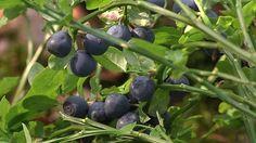 mustikkaa ja mustikanvarpuja  blueberries and -twigs