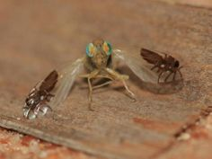 A fly with antlike markings on its wing. It is Goniurelia tridens, a type of fruit fly. Not Photoshopped! The pic is from  http://whyevolutionistrue.wordpress.com/