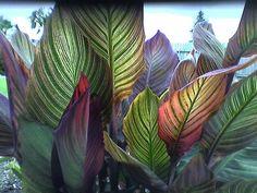 tropical cana | Tropical Canna Leaves Photograph