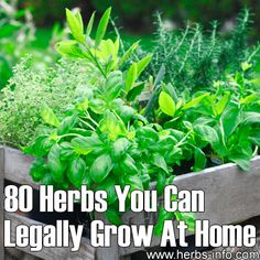 Blog » 80 Herbs You Can Legally Grow at Home  -- http://pharmacytechniciancertification.net/80-incredibly-healthy-healing-herbs-you-can-legally-grow-at-home/