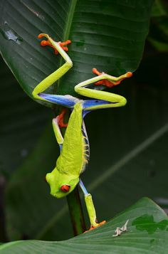 Red-eyed Tree Frog (Agalychnis callidryas), spotted by Jonathan Sequeira in Heredia, Costa Rica