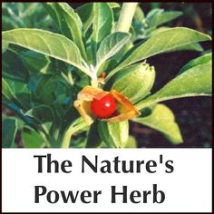 Ashwagandha: The Nature's Power Herb