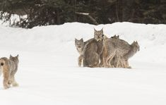'I couldn't believe it': Tofte photographer stumbles on rare lynx sighting  ||  Thomas Spence was looking for moose to photograph near Tofte on Saturday morning when he came upon a Canada lynx standing in the road. Then a second lynx came from the woods. Then another and…