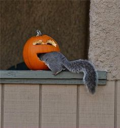 Pumpkin vs. squirrel. Happy July! The pumpkin vines are huge by now, but we're still waiting for fruit. Stay tooned!