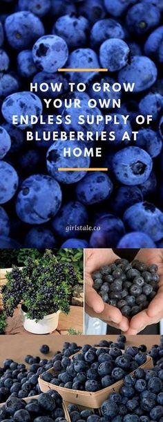 How To Grow Blueberries #Fruit_Gardening