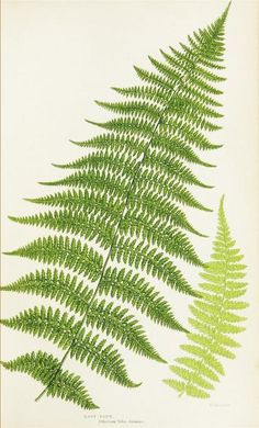 1855 - The ferns of Great Britain, and their allies the club-mosses, pepperworts, and horsetails - ANN PRATT