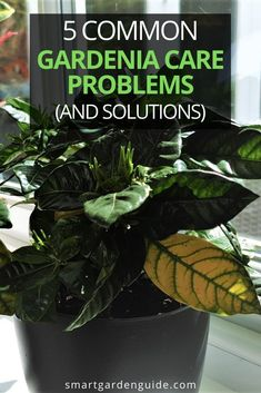 Gardenias aren't easy to keep happy, so you're going to run into a few issues from time to time. I cover the most common gardenia problems, how to identify them, and how to fix and prevent them too. Indoor Flowering Plants, Blooming Plants, Indoor Gardening, Gardening Tips, Gardenia Care, Clean Pots, Smart Garden, Soil Ph, Pot Plants