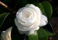 Risultati immagini per fiori bianchi gardenia e  camelia