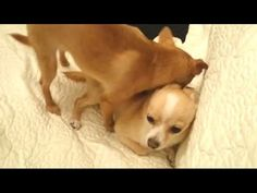 Pomchi and chihuahua play fight together on the couch Kind Reminder, Play Fighting, Minka, Chihuahua, Pup, Corgi, Things To Come, Animals, Corgis