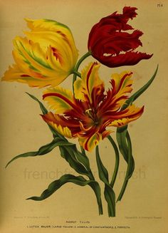Items similar to antique botanical print parrot tulips on Etsy Botanical Drawings, Botanical Illustration, Botanical Prints, Parrot Tulips, Tulips Flowers, Vintage Prints, Vintage Art, Tulip Drawing, Vegetable Illustration
