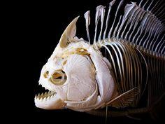 Piranha skeleton.