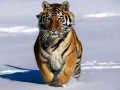 What big cat are you? Siberian Tiger Your the Siberian Tiger! The largest of the big cats and the most respected. You are a ghost in the Siberian wilderness. A lethal killer, you execute plans with accuracy. You live a solitary life style, but will get lonely now and then. Your a caring person and protect your heart with your life.