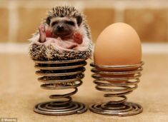 Hedgehogs relax by pretending to be soft-boiled eggs. | 16 Reasons Hedgehogs Are Better Than Politicians