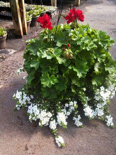 Geranium bacopa combo