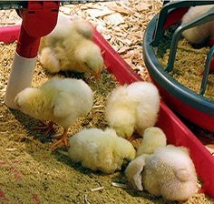 Feeding baby chickens