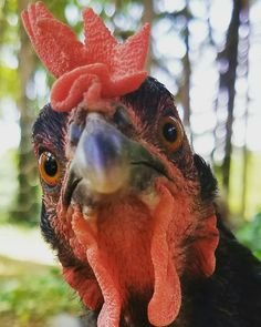 Fancy Chickens, Chickens And Roosters, Pet Chickens, Chickens Backyard, Happy Animals, Farm Animals, Funny Animals, Cute Animals, Chicken Painting