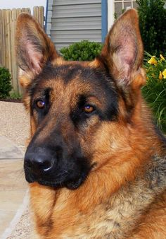 German Shepherd ~ Classic Look