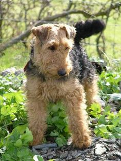 The Welsh Terrier was bred in 18th-century Britain for killing rats.  The Welsh is lively & stubborn, requiring plenty of mental and physical activity, and it will not back down from a fight with another dog or with a stranger it finds threatening.  With those caveats, the Welsh is a good city dweller.  It also handles cold weather well.