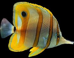 Striped angel fish