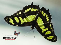 Our critter of the month is the Malachite butterfly!  Have you gotten your FREE butterfly trading card yet? Collect all 12!