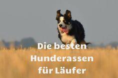 Wenn es einen perfekten Laufpartner wirklich gibt, dann könnte es wohl ein Hund sein: Immer bereit laufen zu gehen, keine Ausreden, niemals zu müde und von hohen Geschwindigkeiten eher herausgeford…