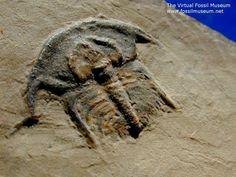 Eofallotaspis sp. Family Fallotaspidoidea Lower Cambrian Campito Formation, Esmeralda County, Nevada
