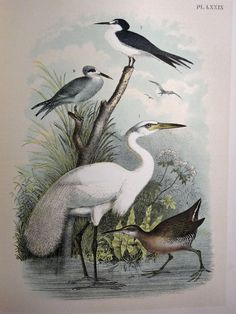 50% off all Bird Lithographs from late 1890's, Birds of North America, through the end of June - Just enter code PRINTS to receive this discount.