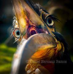 Figaroooo. Southern ground hornbill. Calao terrestre