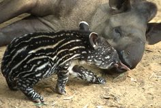 Passiflora the Brazilian Tapir and her four-day old baby are seen at the Ramat Gan Safari, an open-air zoo near Tel Aviv, on October 9, 2012. AFP PHOTO / JACK GUEZ