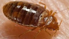 Pest Control Bed Bugs London Cost