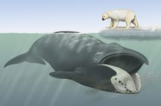 Bowhead Whale | Bowhead whale, with polar bear for scale. Painting copyright Carl ... Large Animals, Cute Animals, Marine Archaeology, Whale Species, Hunting Painting, Whale Drawing, Fin Whale, Baleen Whales, Safari