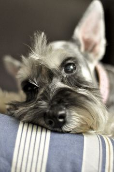 Miniature Schnauzer so sweet