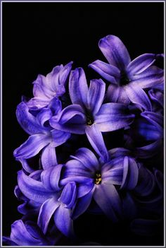 absolute favorite: purple hyacinth- or heisman as someone great used to call it...