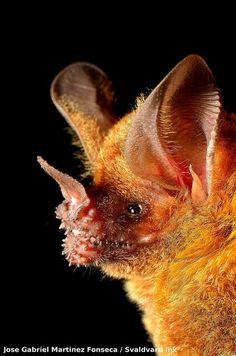 Yellow-lipped Bat Mammals, Wild Life, Bats, Beautiful Creatures, Dusk, Yellow, Store, Awesome