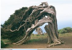 this tree is on the island of  El Hierro (Canary island).  all grow in this way, by the action of strong wind.