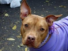 TO BE DESTROYED 11/7/13 Manhattan Center - P  My name is XENA. My Animal ID # is A0983812. I am a spayed female brown pit bull mix. The shelter thinks I am about 1 YEAR   I came in the shelter as a OWNER SUR on 11/01/2013 from NY 10459, owner surrender reason stated was MOVE2PRIVA.  https://www.facebook.com/photo.php?fbid=701968326482716&set=a.611290788883804.1073741851.152876678058553&type=3&theater