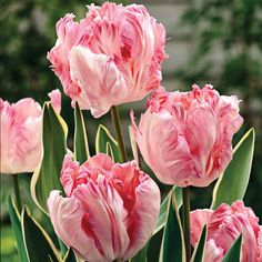 Tulip 'Silver Parrot' - Dutch Gardens - Dutch Gardens - Thompson & Morgan